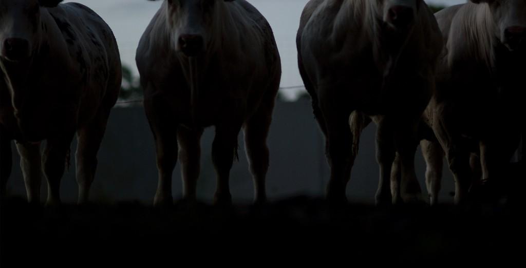 belgian-cow-002