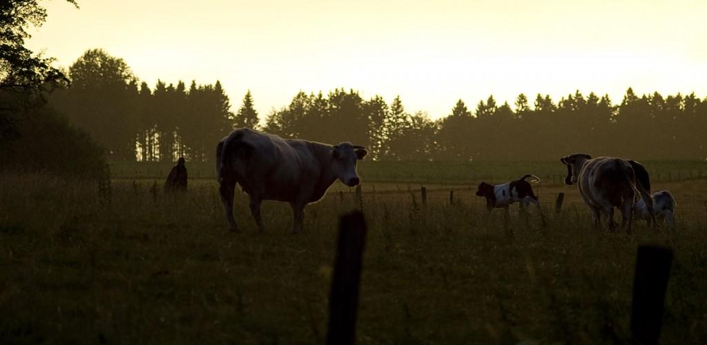 belgian-cow-003